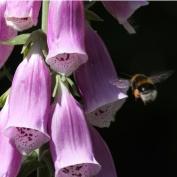 foxglovebee (1)